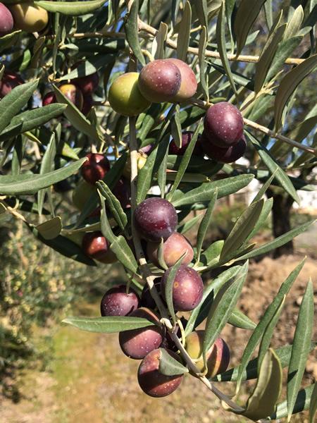 olives2018.jpg