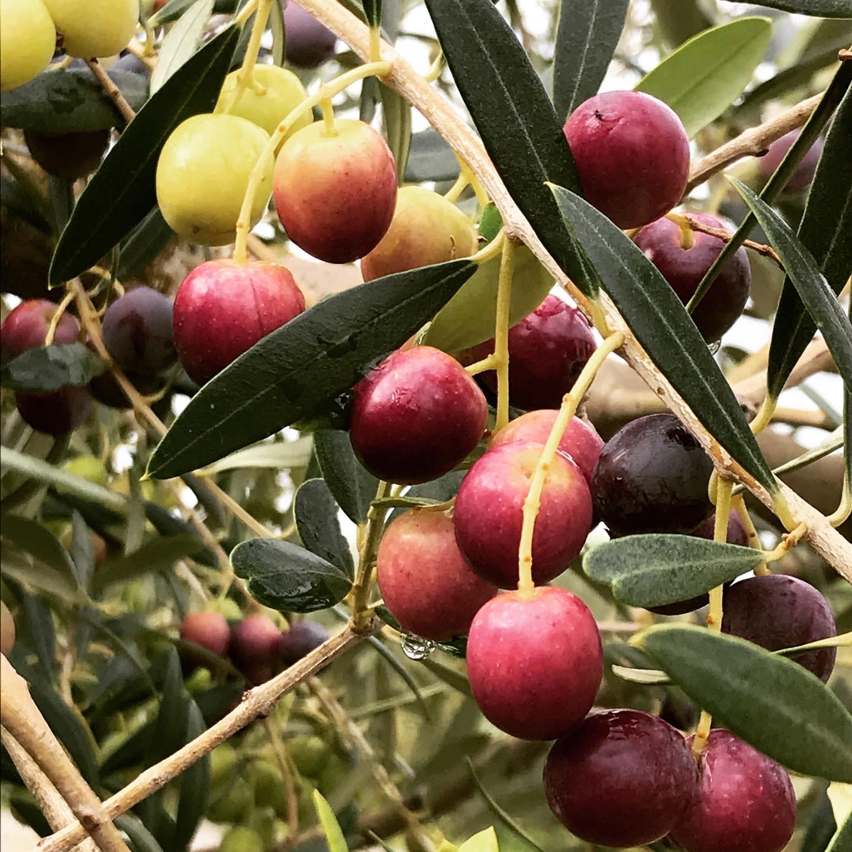 olivesLaMadalena.jpg